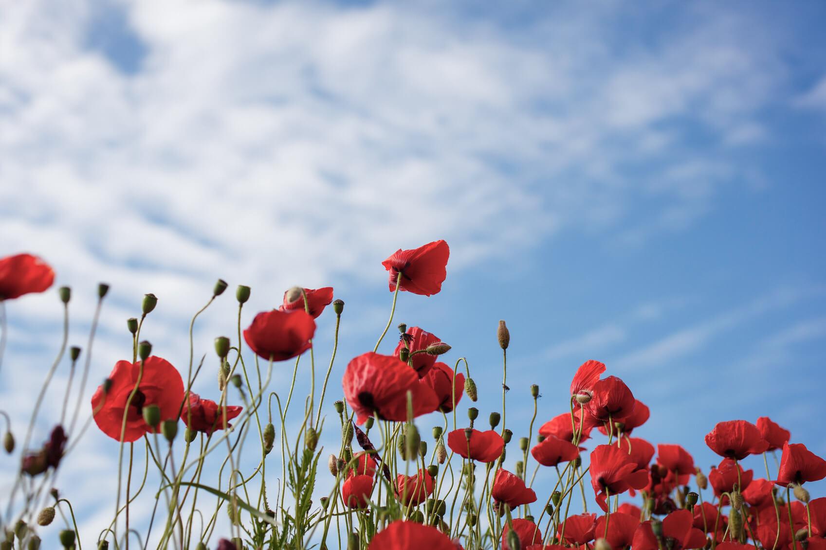 World War One Poppies